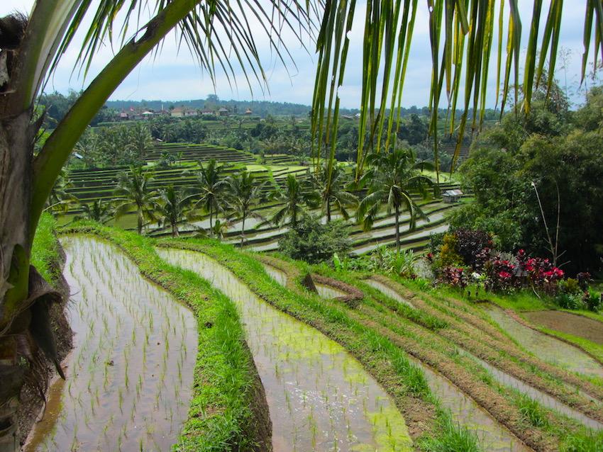 Bali-Risaie