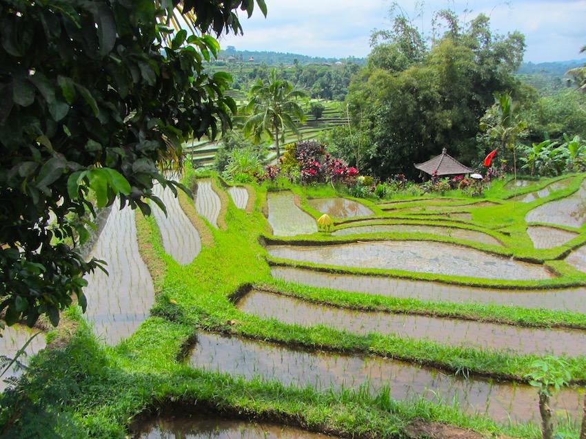 Bali-Risaie1