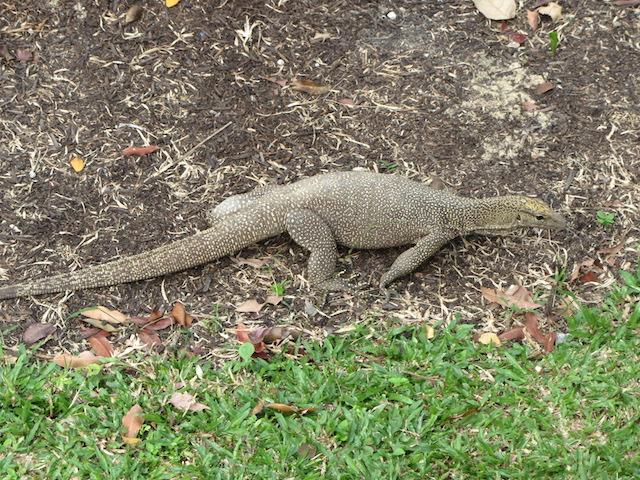 Singapore-animale-in-giardino-botanico-2