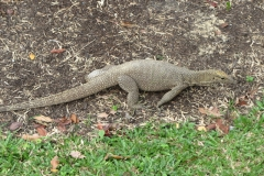Singapore-animale-in-giardino-botanico-2