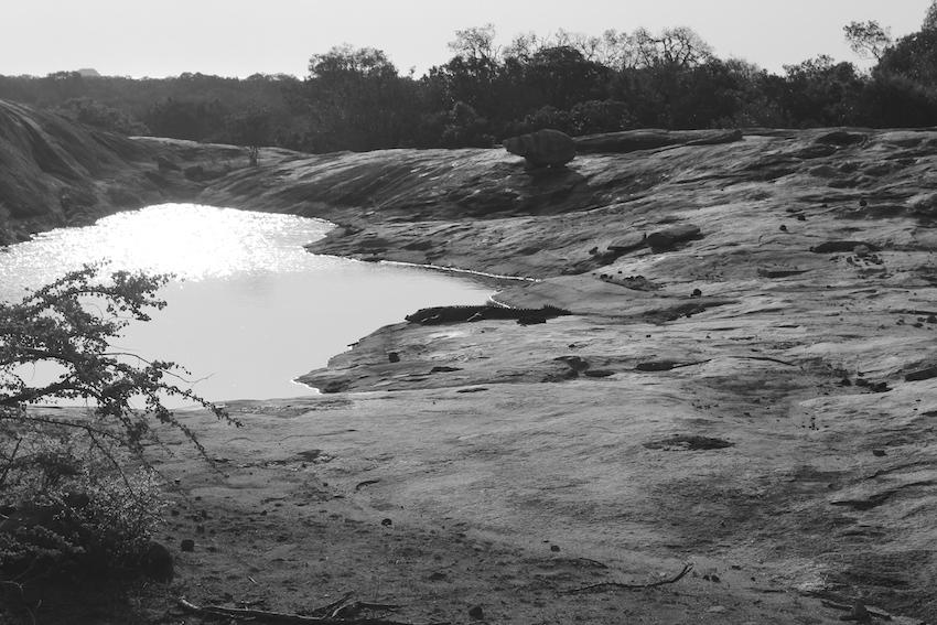 Sri-Lanka-Yala-National-park-coccodrillo