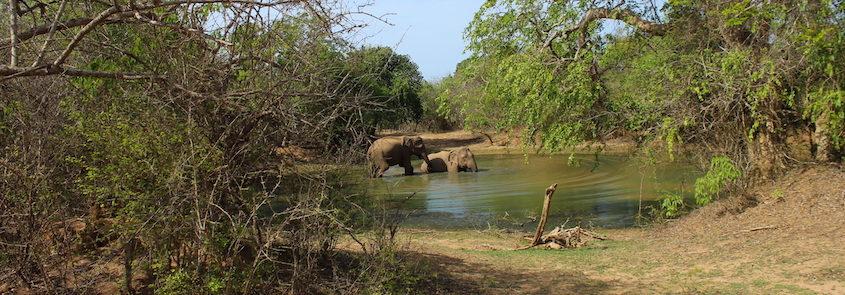 Sri-Lanka-elefanti-a-Yala-National-park2-e1573128055524