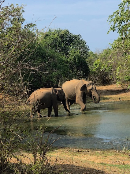 Sri-lanka-elefanti-a-Yala-National-park1